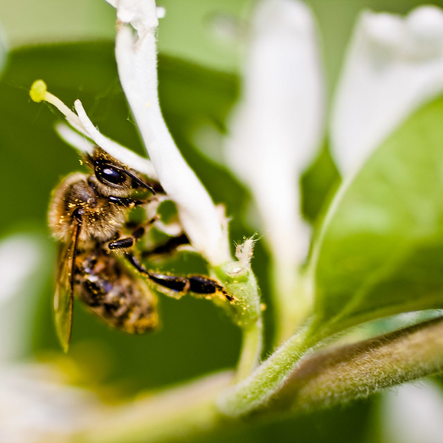 Bee Macro | Credit: Kevin Rank - https://www.flickr.com/photos/ryfter/3557620152/