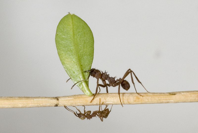 Leafcutter ant Acromyrmex octospinosus on a stick carrying a leaf [Credit: http://en.wikipedia.org/wiki/File:Acromyrmex_octospinosus.jpg]