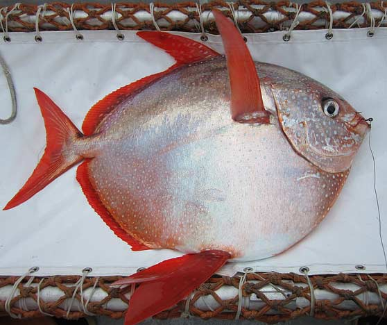 Opah | https://www.flickr.com/photos/nmfs_northwest/17188703717/  From NOAA Fisheries West Coast