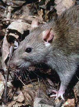 Rattus norvegicus, the Brown Rat. | https://en.wikipedia.org/wiki/Rat#mediaviewer/File:Rattus_norvegicus_1.jpg