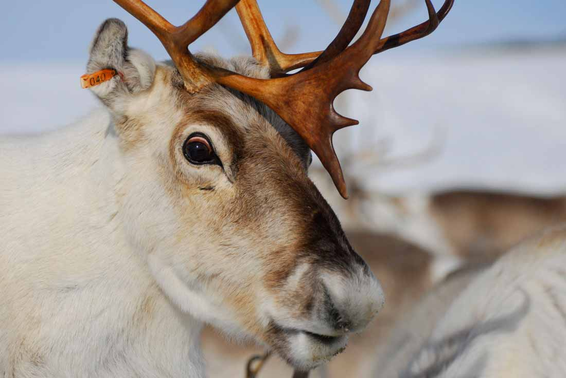 A close-up view of a reindeer in the Arctic. |Credit: © Kia Hansen