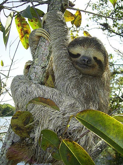 Three-toed-sloth (Bradypus variegatus), Lake Gatun, Republic of Panama. [Credit: Stefan Laube]
