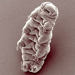 Tardigrade Credit: Bob Goldstein and Vicky Madden, UNC Chapel Hill | https://en.wikipedia.org/wiki/Tardigrade#/media/File:Waterbear.jpg
