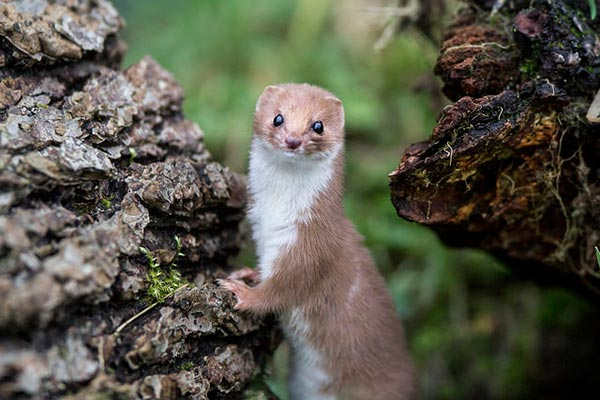 Weasel photo by Ashley Buttle