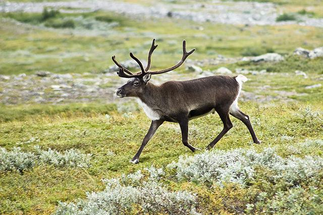 Strolling reindeer (Rangifer tarandus) in the Kebnekaise valley, Lappland, Sweden [Credit: Alexandre Buisse (Wikimedia Commons)]