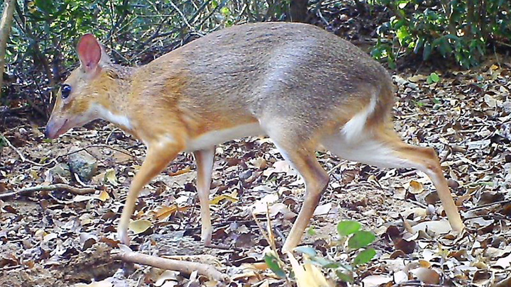 silver-backed chevrotain | Southern Institute of Ecology/Global Wildlife Conservation/Leibniz Institute for Zoo and Wildlife Research/NCNP