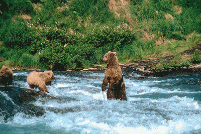 Bears in River