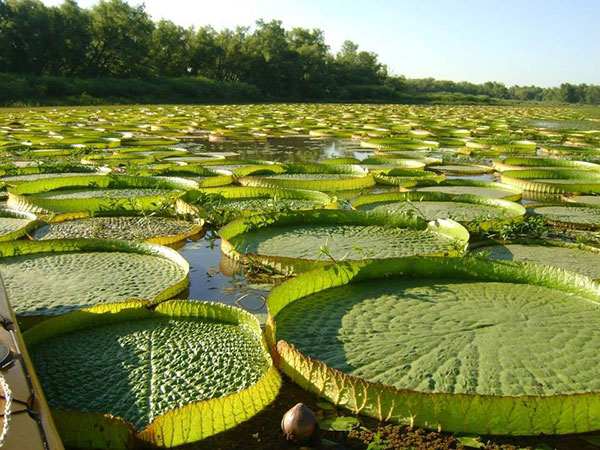 Amazon water lily, photo by Noelcan, courtesy Wikimedia Commons