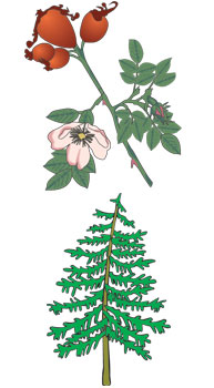 A rose plant and a pine tree