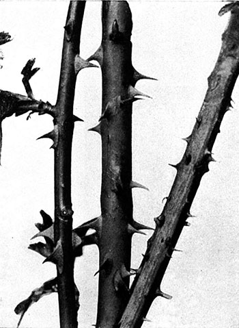 Thorns on a plant